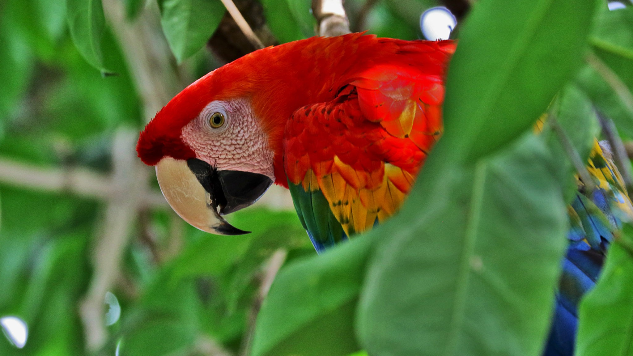 1 scarlet macaw